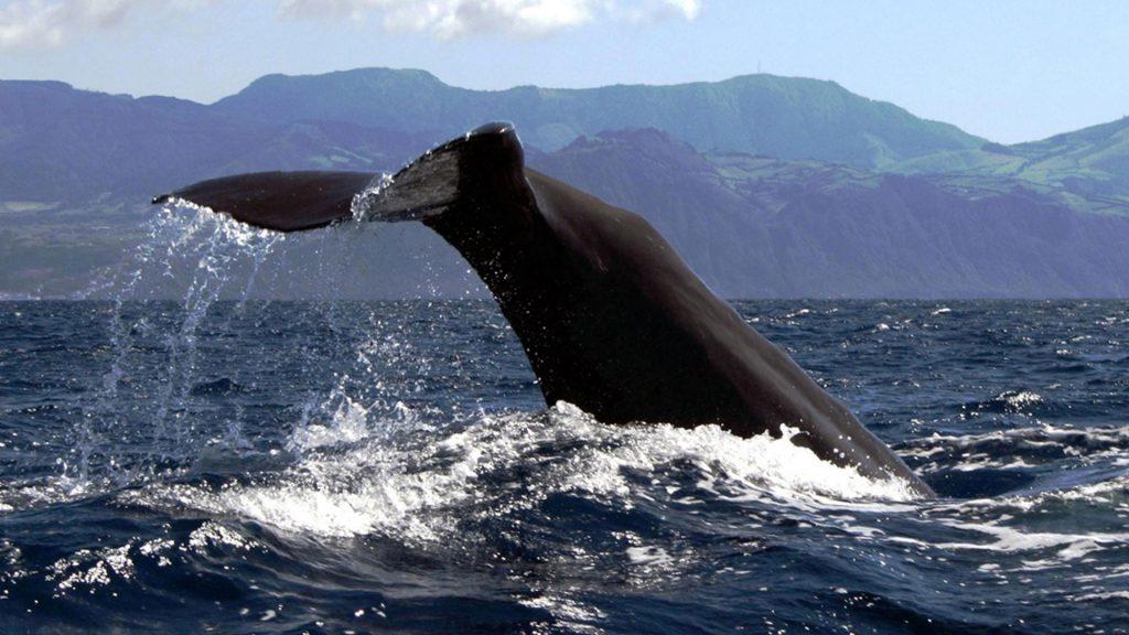 Azorai Ponta Delgada delfinai