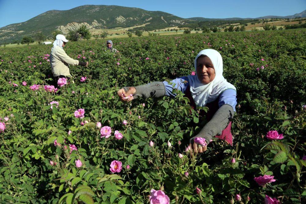 Turkija rožės
