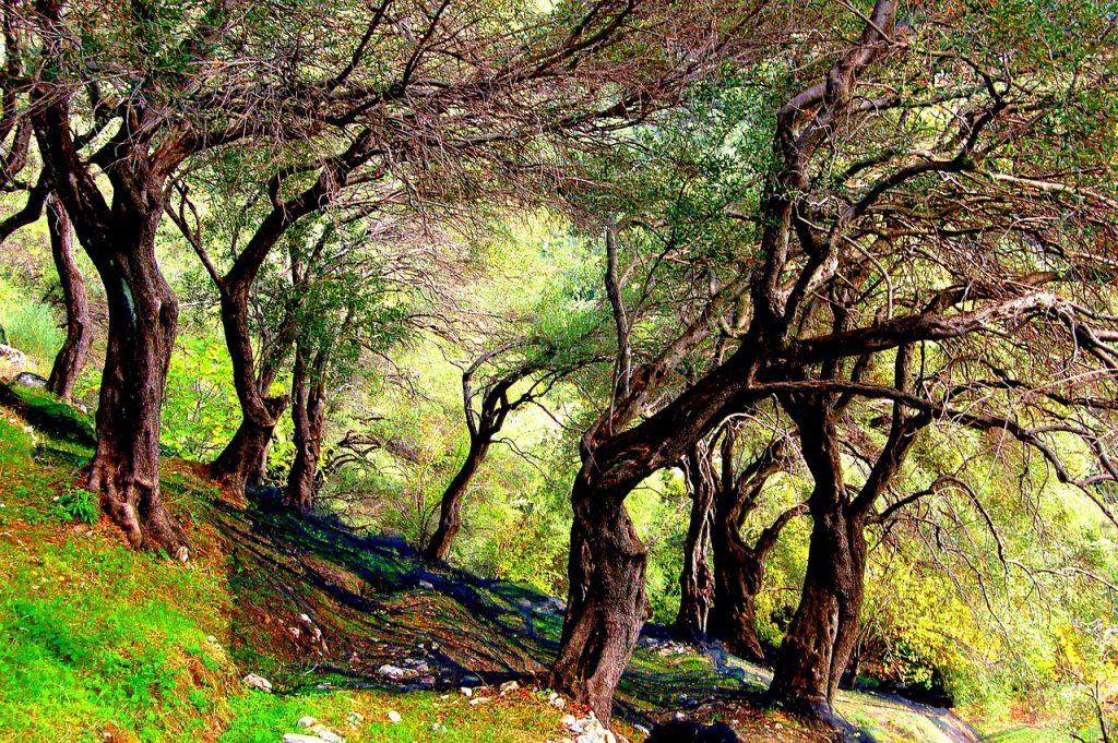 Korfu alyvmedžiai